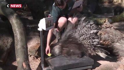 Au zoo de Londres, la pesée des animaux demande de l'inventivité
