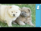 Hungry Chow Puppies Chase Mama - Puppy Love