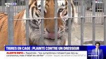 Tigres en cage: une association de défense des animaux porte plainte contre un dresseur