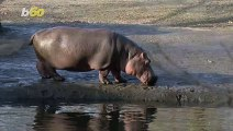 Hippo Hysteria! Pablo Escobar's Hippos are Taking Over Colombia