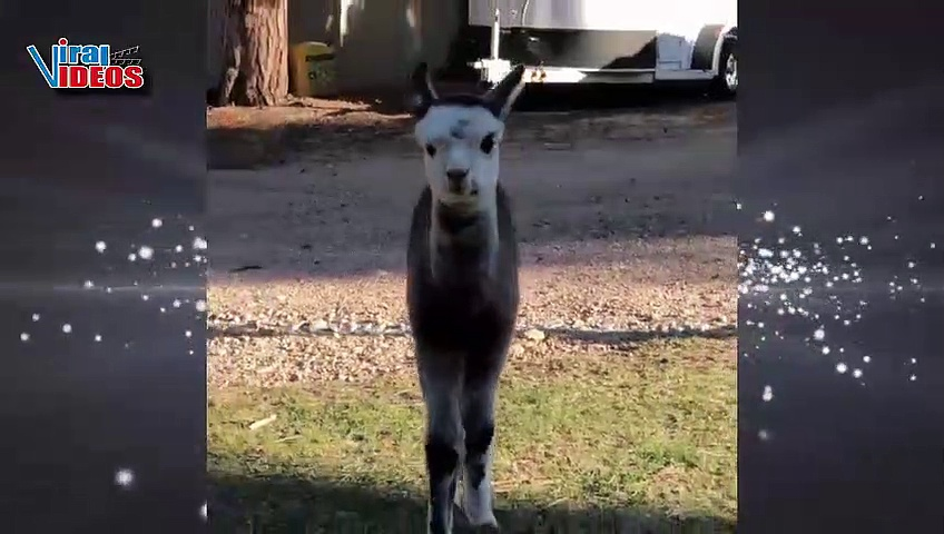 Cute and Adorable Baby Alpacas Video Compilation || Nature is Amazing || Animal Videos