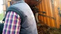 बाराबंकी: चेकिंग के दौरान पुलिस ने पकड़ा गौवंशीय पशुओं से भरा कंटेनर