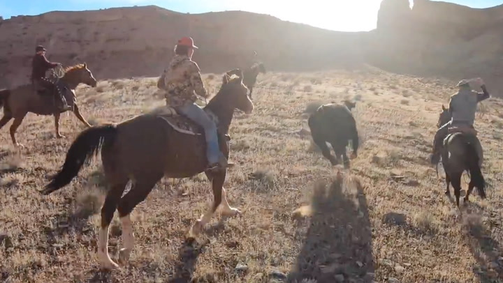 Modern Cowboys Have An Exciting Day Herding Cattle