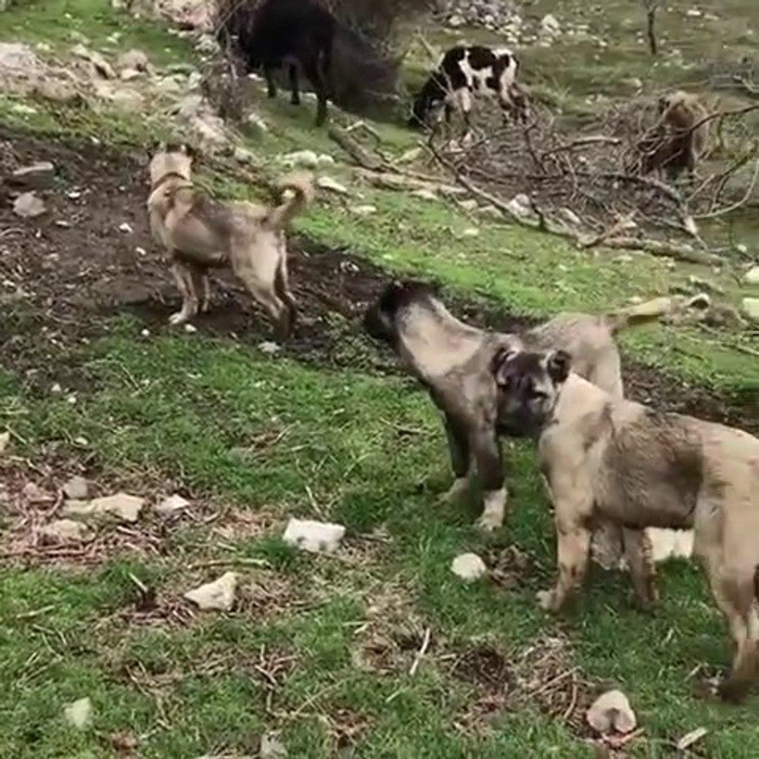 COBAN KOPEK YAVRULARI GOREV ALISTIRMALARI - ANATOLiAN SHEPHERD DOG PUPPiES