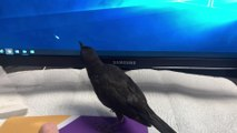 Crow Plays with Mouse Pointer on Computer Screen