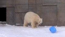 Cet ours polaire s'amuse comme un fou... avec un bidon
