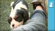 Shy Cavalier Puppy Doesn't Like Toys, Loves Boots - Puppy Love