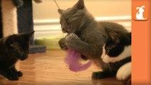 3 Kittens VS. Feather Toy - Kitten Love