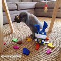 When a rabbit confuses his toys with food. Hilarious!