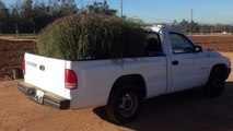 Scientists Warn About New Monster Tumbleweed Species