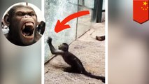 Cunning monkey uses rock to smash his enclosure