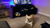 French bulldog freaks out at sight of owner's back massager at their Missouri home