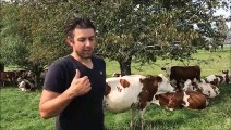 Nicolas Bucher, agriculteur à Écurcey évoque la vache Montbéliarde
