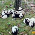 These pandas love to play together. Look !
