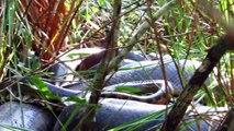 Des touristes tombent nez à nez avec 2 Anacondas immenses