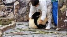 Ce jeune panda rend la vie impossible aux employés du zoo... Trop joueur