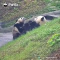 Quand deux pandas se disputent à manger. Trop drôle !