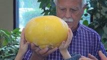 Neuer Guinness Weltrekord: die größte Grapefruit der Welt hat den Durchmesser eines Basketballs