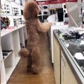 Poodle Stands to See Shoppers