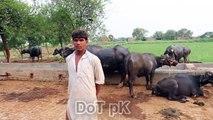 Buffaloes And Cows Dairy Farm | Buffaloes Dairy Farming in Pakistan | Cows Farming in Urdu -- سچے اور ایماندار نوجوان کا بھینسوں کے حوالے سے زبردست اور لاجواب انٹرویو ,اخراجات کم کریں اور زیادہ منافع کیسے حاصل کریں ؟