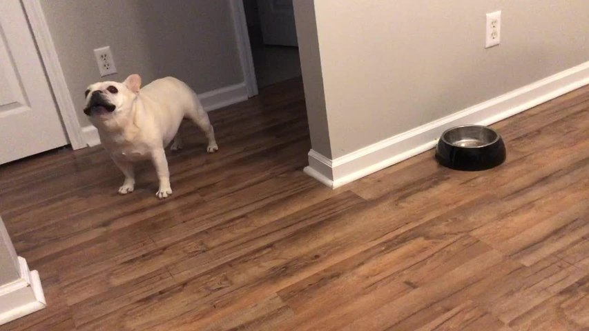 Angry French Bulldog on Diet Throws Tantrums for Not Getting Food