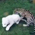 Quand deux bébés tigres jouent ensemble, voici ce que ça donne !