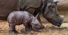 Un rhinocéros indien est né au zoo de Beauval