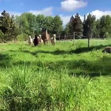 Admire this herd of wonderful alpacas. Majestic !