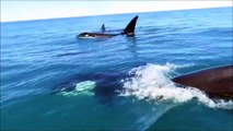 Impresiona : está rodeado de orcas en su moto de agua