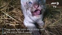 Peruvian zoo shows off newborn Bengal tiger cubs