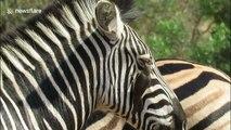Wildlife cleaning service! Zebra allows bird to clean her eyelashes