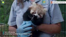 This Red Panda Cub Is The Cutest Thing You'll See Today