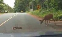 Une biche retrouve son petit allongé au milieu de la route !