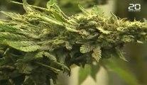 Cannabis : Les Pays-Bas vont légaliser la production