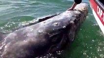Une énorme baleine vient demander des calins à des touristes