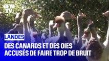 Après le coq Maurice, des canards et des oies accusés de faire trop de bruit dans les Landes
