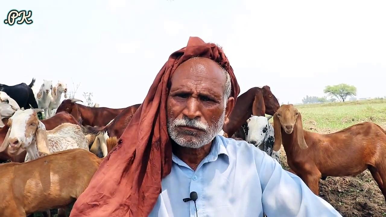 6 سال پہلے 1 بکری سے کام شروع کیا ,6 سال میں 125 بکریاں فروخت کیں .اور آب ماشاء الله 30 بکریاں ہیں ,دوگلى بکریاں رکھنے والے بزرگ کا زبردست اور لاجواب انٹرویو