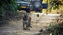 Les magnifiques images d'un tigre aperçu sur un chemin à Dhikala, Corbett National Park