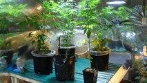 Lesotho : la légalisation du cannabis ne profite pas encore aux acteurs locaux