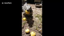 Iguanas eat guavas! Reptile eats fruity treats in Texas