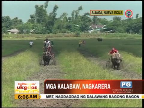 WATCH: Carabao racing in Nueva Ecija