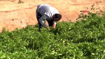 Şanlıurfa'da isot hasadına başlandı