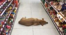 Au Mexique, un magasin ouvre ses portes à un chien sans-abri durant la vague de chaleur