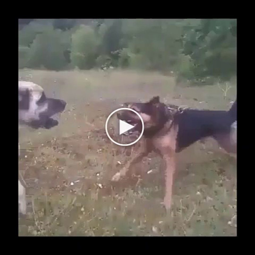 ANADOLU COBAN KOPEGi VS ALMAN KURDU - ANATOLiAN SHEPHERD DOG VS GERMAN SHEPHERD DOG