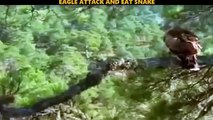 Eagle Fight Powerful Compilation - Eagle Catching and Eating Snake - Amazing Moments Of Eagle Fights-JdkRZGx0bNI