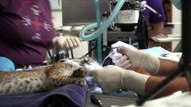 Meet Malachite, the newest bobcat kitten in our Bobcat Rehab Program.
