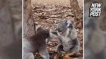 The claws came out in this rare koala fight