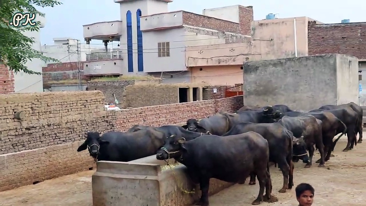 Mehndi Dairy Farm | Buffaloes Farming in Urdu | Dairy Farming | Farming Tips in Urdu | Buffaloes