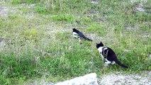 Un chat chasse une pie et va se retrouver encerclé par 10 oiseaux en colère