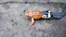Ce serpent emporte un crapaud encore en vie dans sa gueule